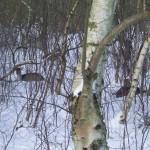 Hert in sneeuw 1